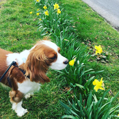 Sherwood the dog sniffing some flowers